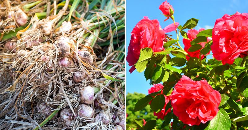 companion plants FI