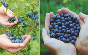 This Is How To Grow A Never Ending Supply Of Blueberries In Your Backyard