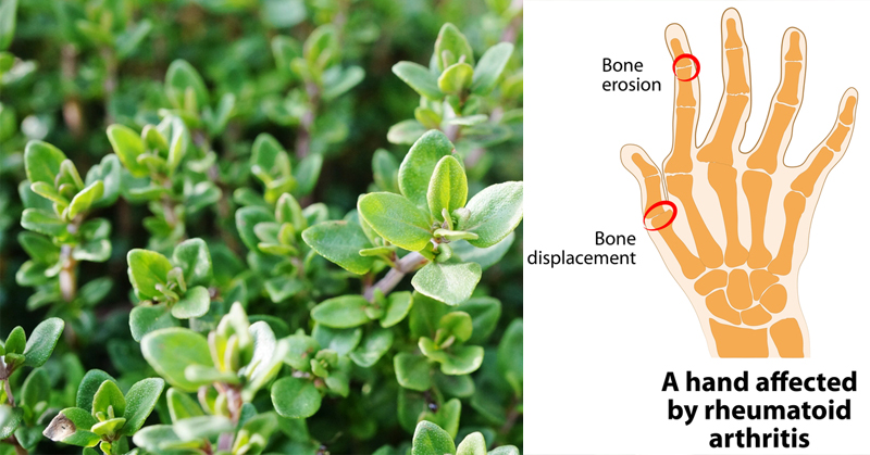 5 Amazing Health Benefits Of Thyme Essential Oil Everyone Should Know!