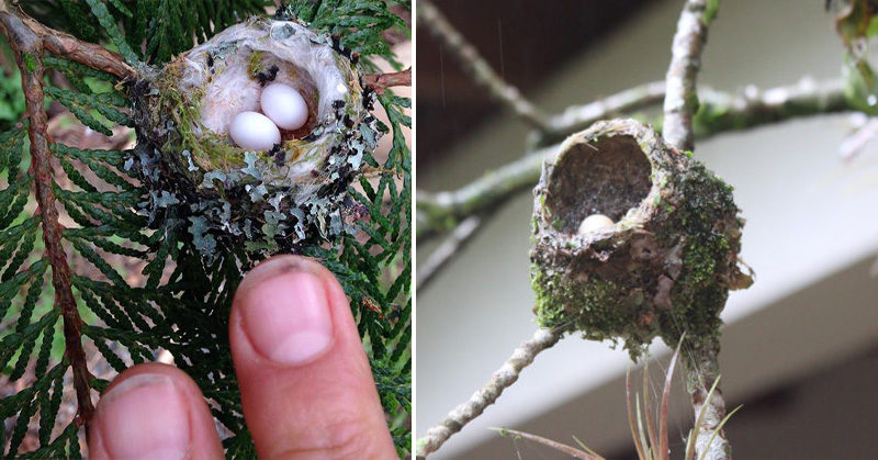 hummingbird eggs FI