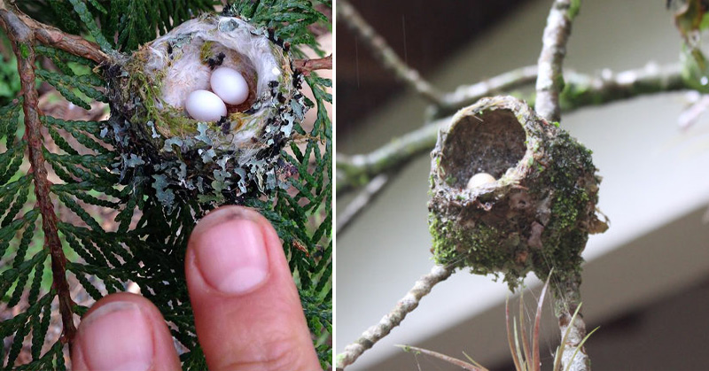hummingbird eggs FI