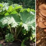 perennial crops FI