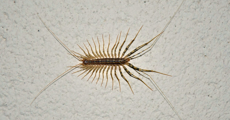 this is why you should never kill house centipedes. Black Bedroom Furniture Sets. Home Design Ideas