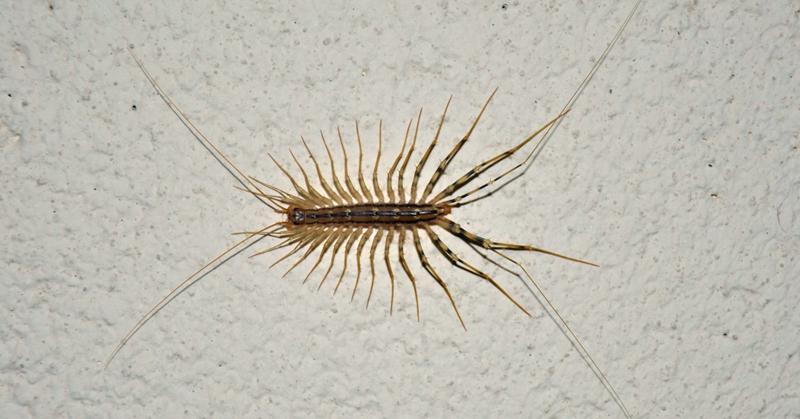 house centipede FI