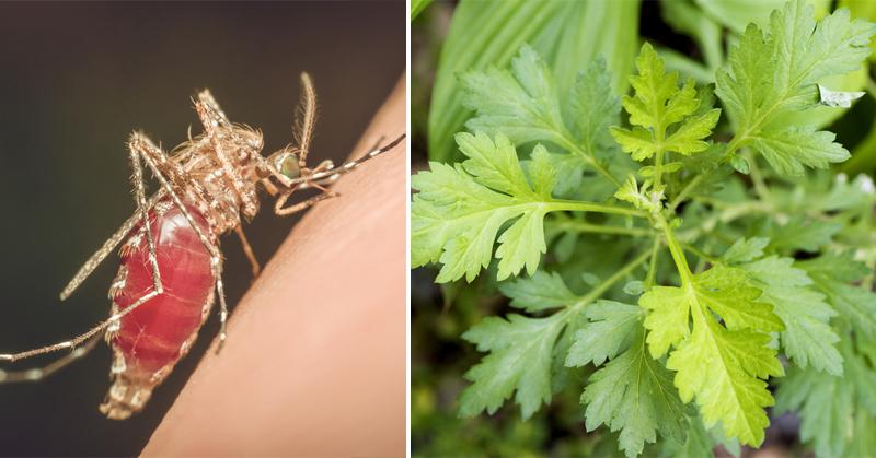 herb malaria FI