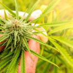 marijuana seizures FI