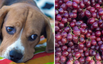 The Terrifying Reason Why Your Dog Should NEVER Eat Grapes