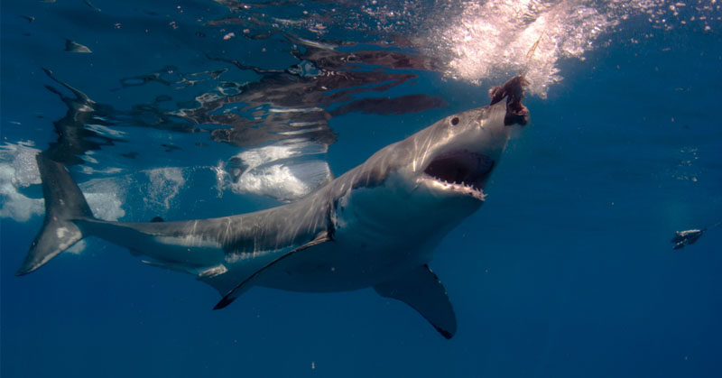 Researchers Reveal Why You Never See A Great White Shark ...
