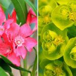 toxic plants common FI