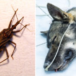 kissing bug dog FI
