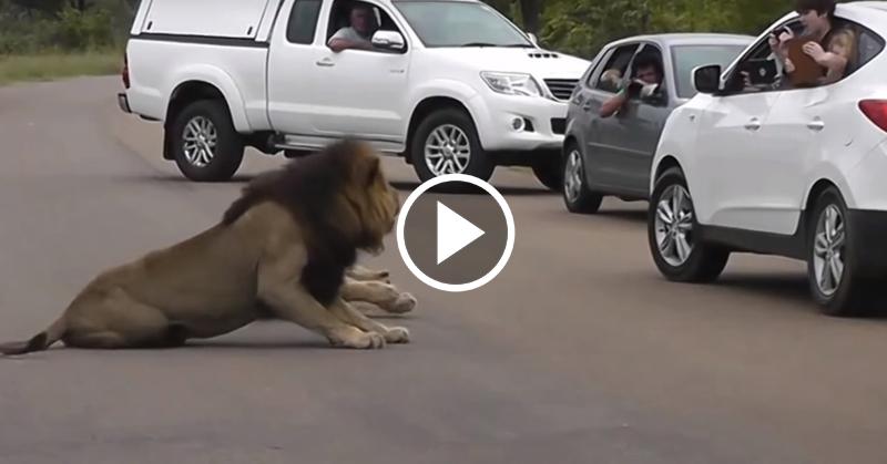lion tourists FI