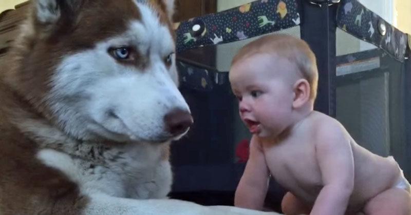 baby husky FI