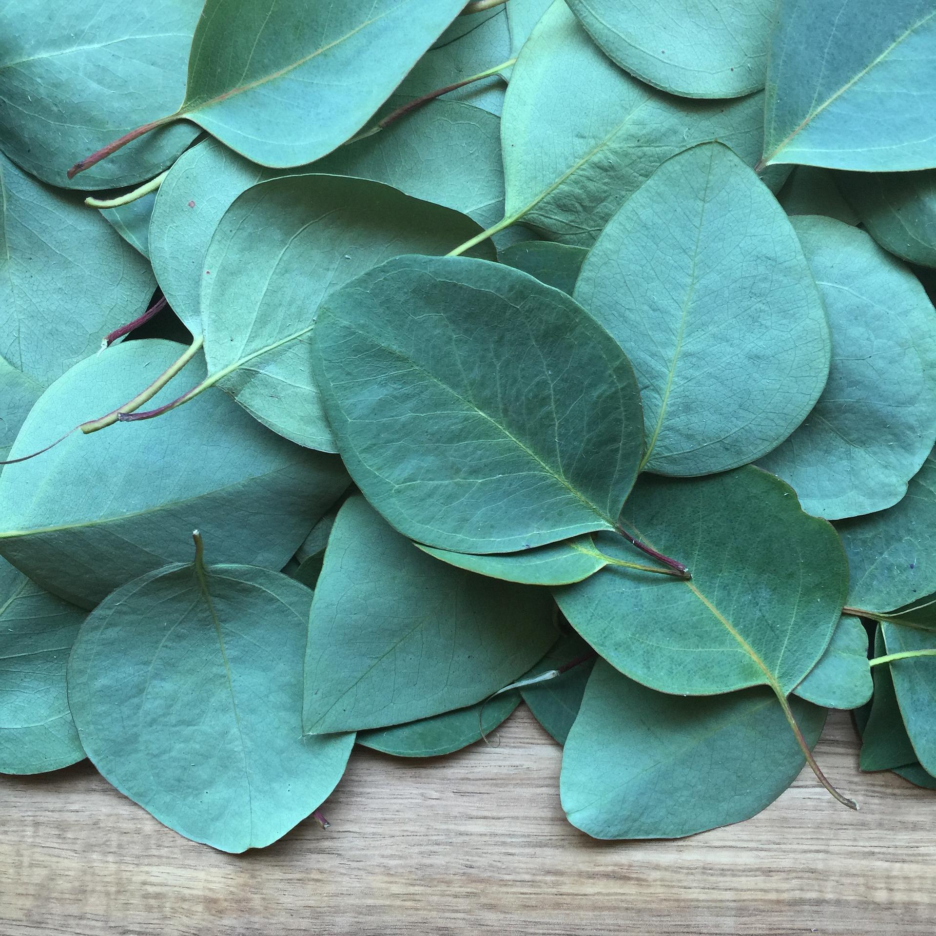 leaves eucalyptus oil