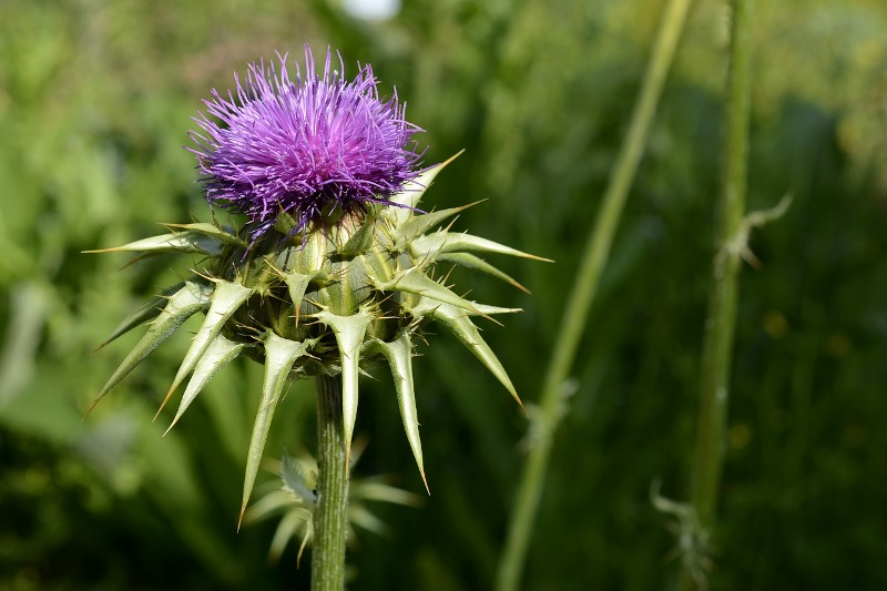 Hyperlipidemia milk thistle
