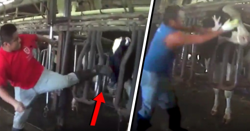 Shocking Undercover Video Shows Workers Abusing Dairy Cows - David Avocado Wolfe