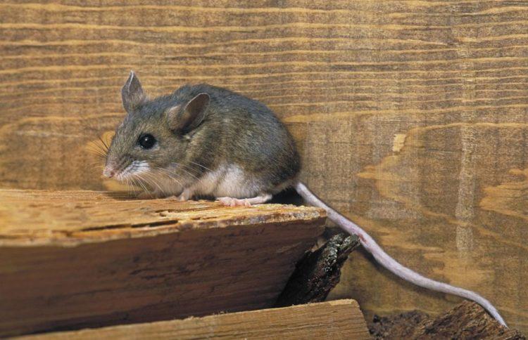 hantavirus deer mouse