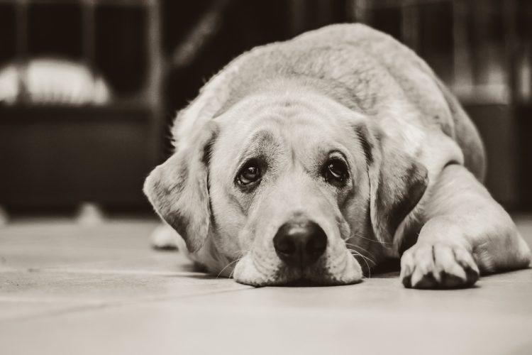 leptospirosis sad dog