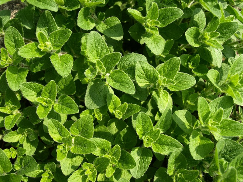 lymphangitis oregano