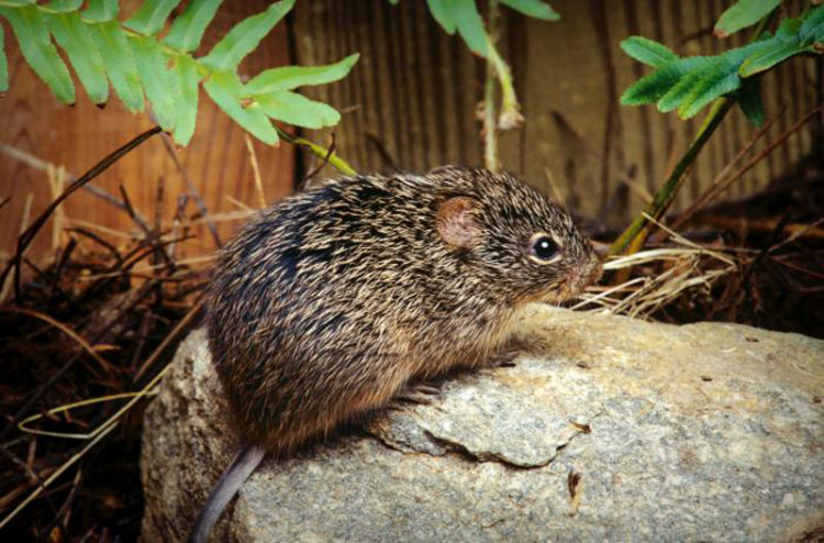 leptospirosis mouse