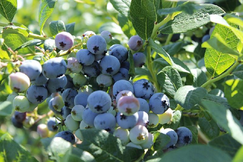 bilberry health benefits