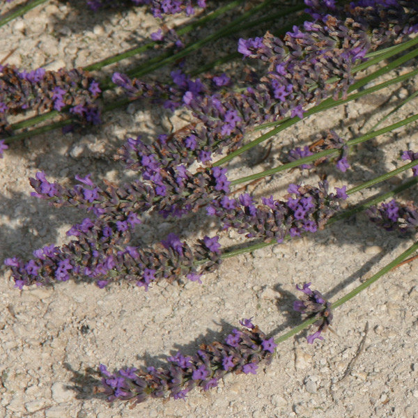 Lavandin essential oil flower