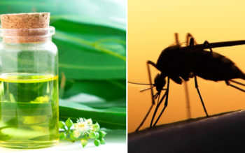 Lemon Eucalyptus Essential Oil: 9 Health Benefits