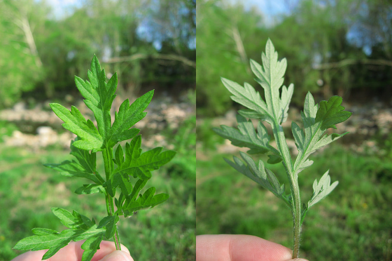 Mugwort essential oil leaf