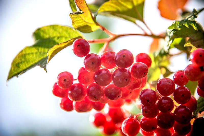 Schizandra fruit berry Schizandra health benefits