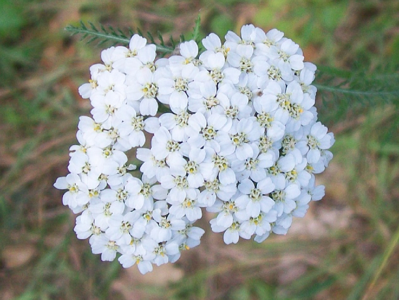Yarrow essential oil plants