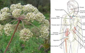 Angelica Essential Oil: 12 Health Uses
