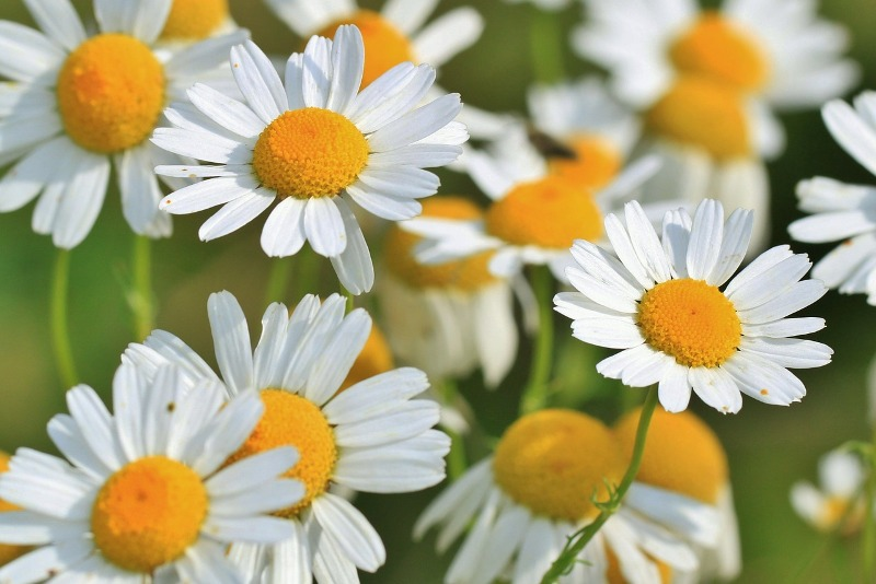 chamomile essential oil flower