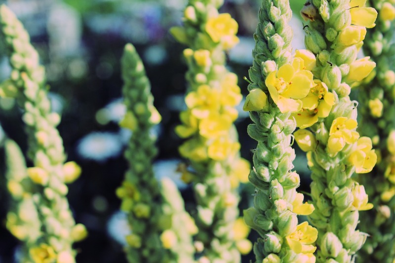 Mullein essential oil flowers