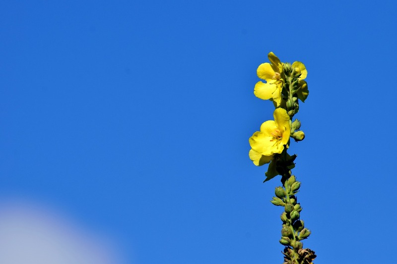 Mullein essential oil flower