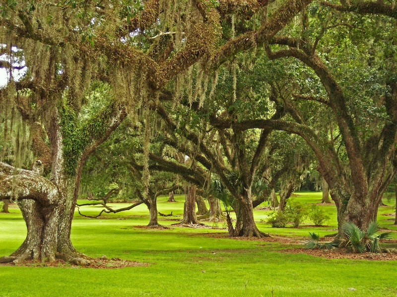 Oak moss essential oil trees
