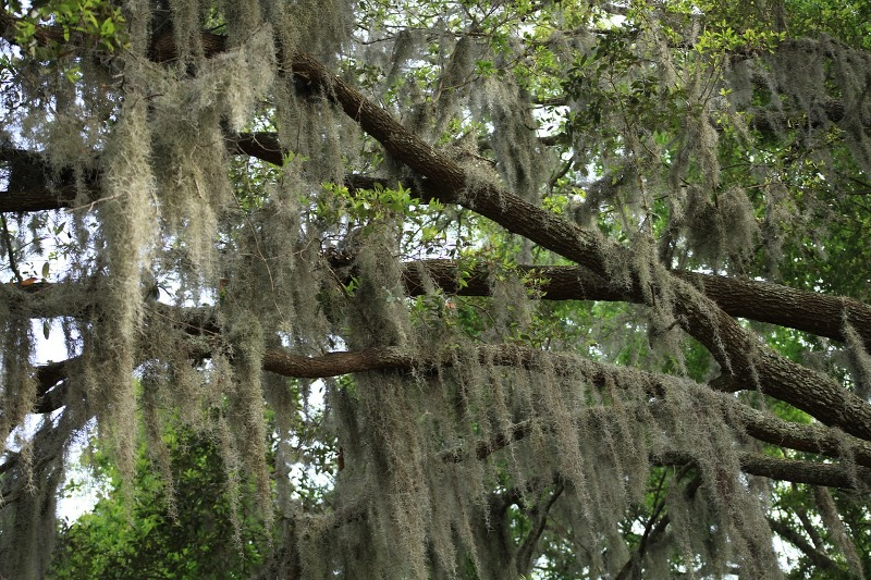 Oak moss essential oil moss