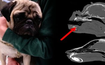 Vets Warn About Popular Pug Dog Trend: Don't Give This Dog As A Christmas Gift!