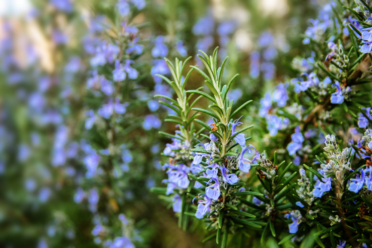 scabies treatment rosemary
