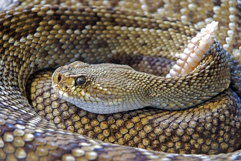 snake bite rattlesnake