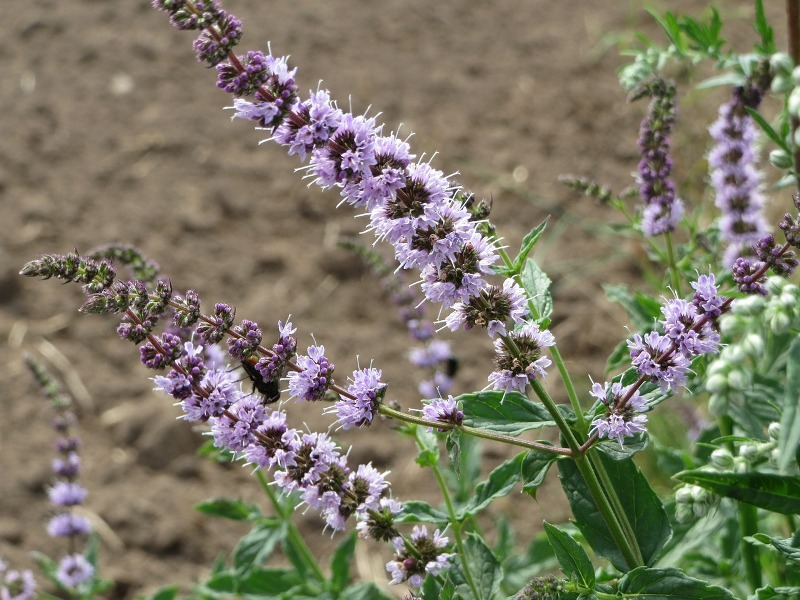 Spearmint essential oil flowers
