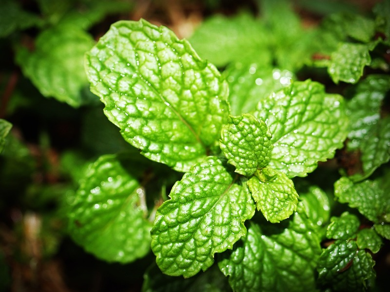 Spearmint essential oil plant