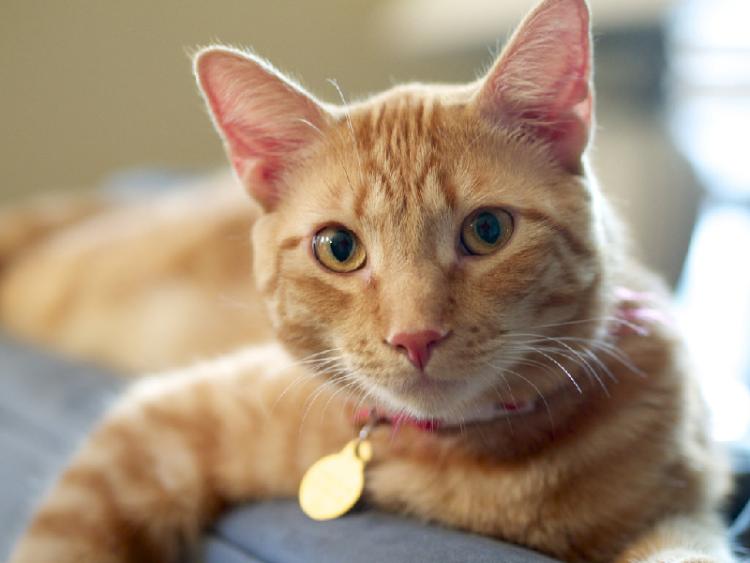 toxoplasmosis treatment cat