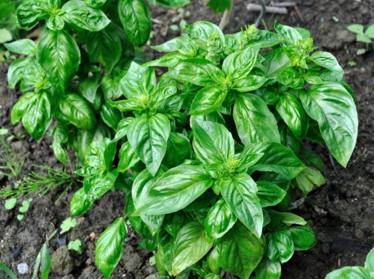 trichomoniasis treatment basil