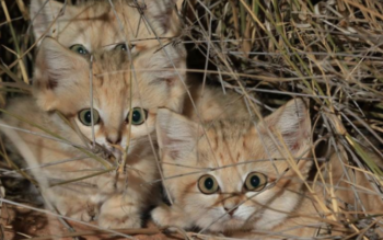 Researchers Record Wild Sand Cat Kittens For The First Time Ever & They Are Adorable!