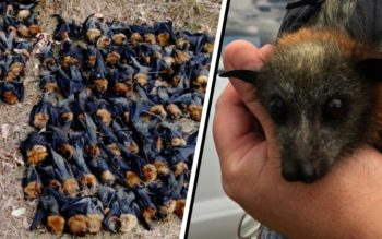 Rescuers Devastated After Bats Fall From The Sky In Australia