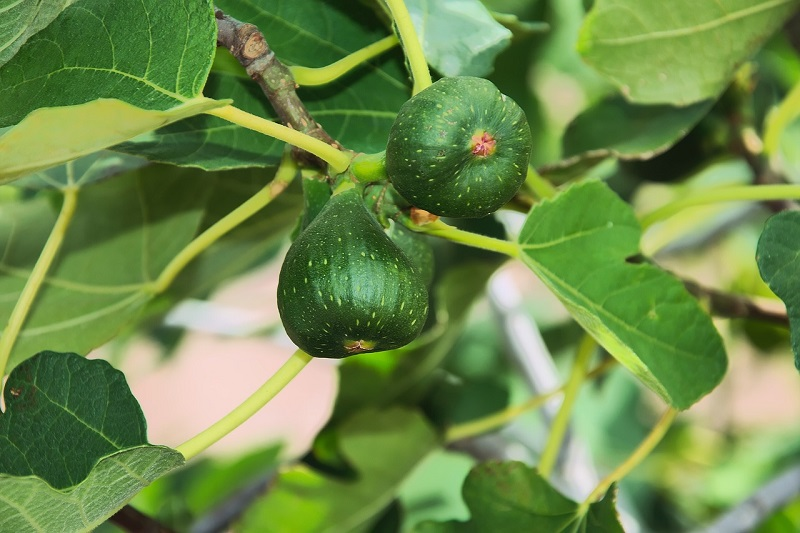 Fig health benefits