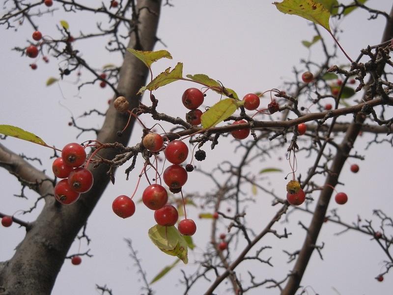 hawthorn berry benefits