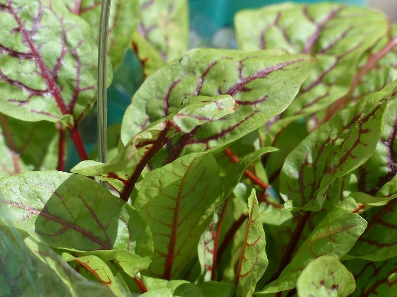 sorrel health benefits
