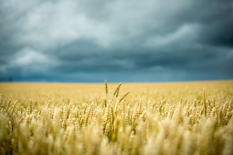 Wheat germ benefits