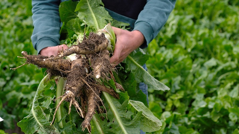 benefits of chicory root