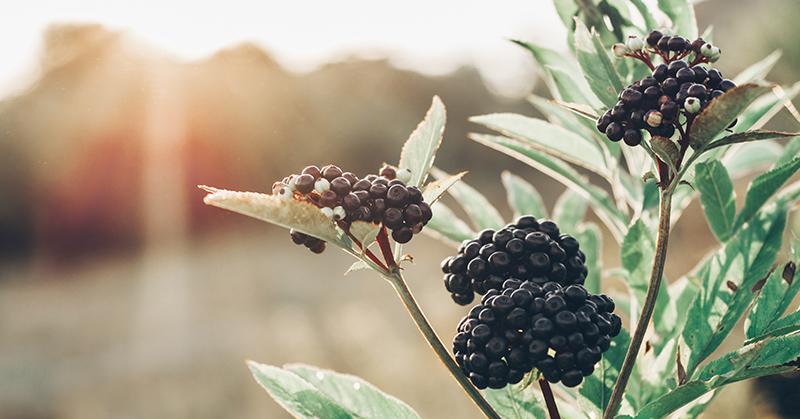 elderberry for immunity FI